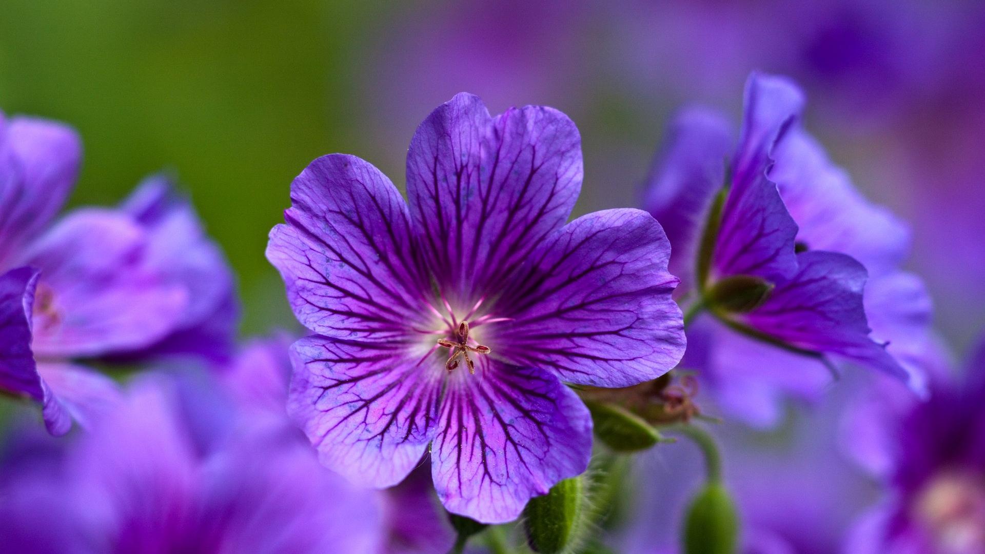 Download Wallpaper 1920x1080 Violet Flowers Close Up Petals Full Hd 1080p Hd Background
