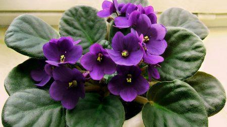 violet, lilac, flower