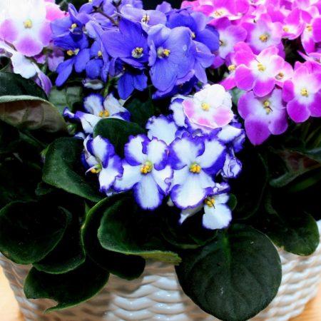 violets, flowers, indoor