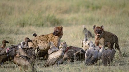 vultures, hyenas, carrion