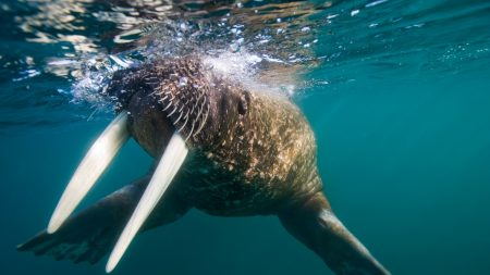 walrus, tusks, swim