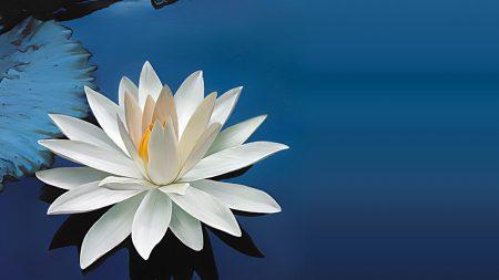 water-lily, flower, leaf