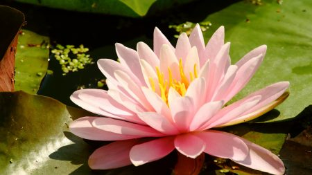 water-lily, leaves, water