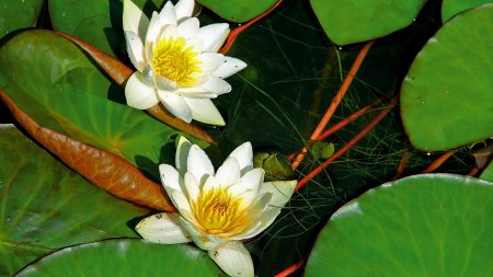 water lilies, pair, white