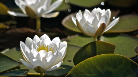 water lilies, three, water