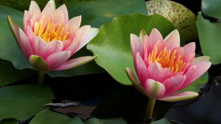 water lilies, water, couple