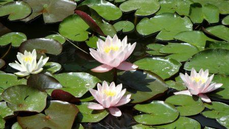 water lilies, water, leaves