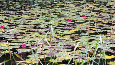 water lilies, water, swamp