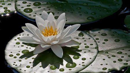 water lily, green, drops