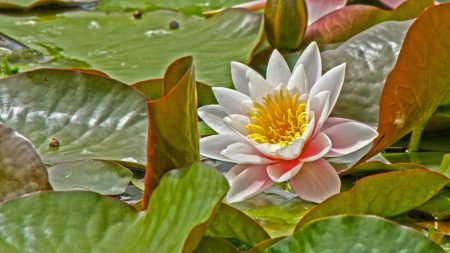 water lily, leaves, herbs