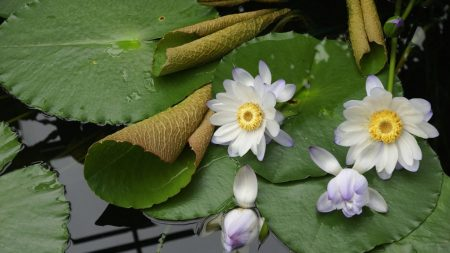water lily, water, buds