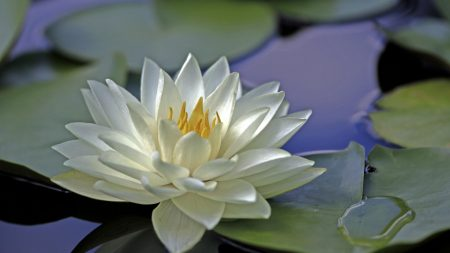 water lily, water, leaves
