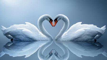 white swans, couple, heart