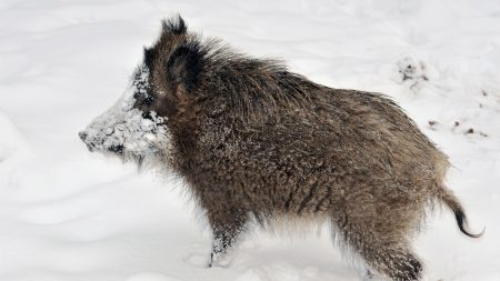 wild boar, young, snow