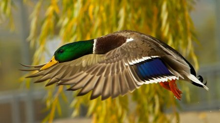 wild duck, flying, colorful