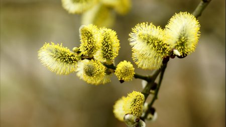 willow, flowering, branch