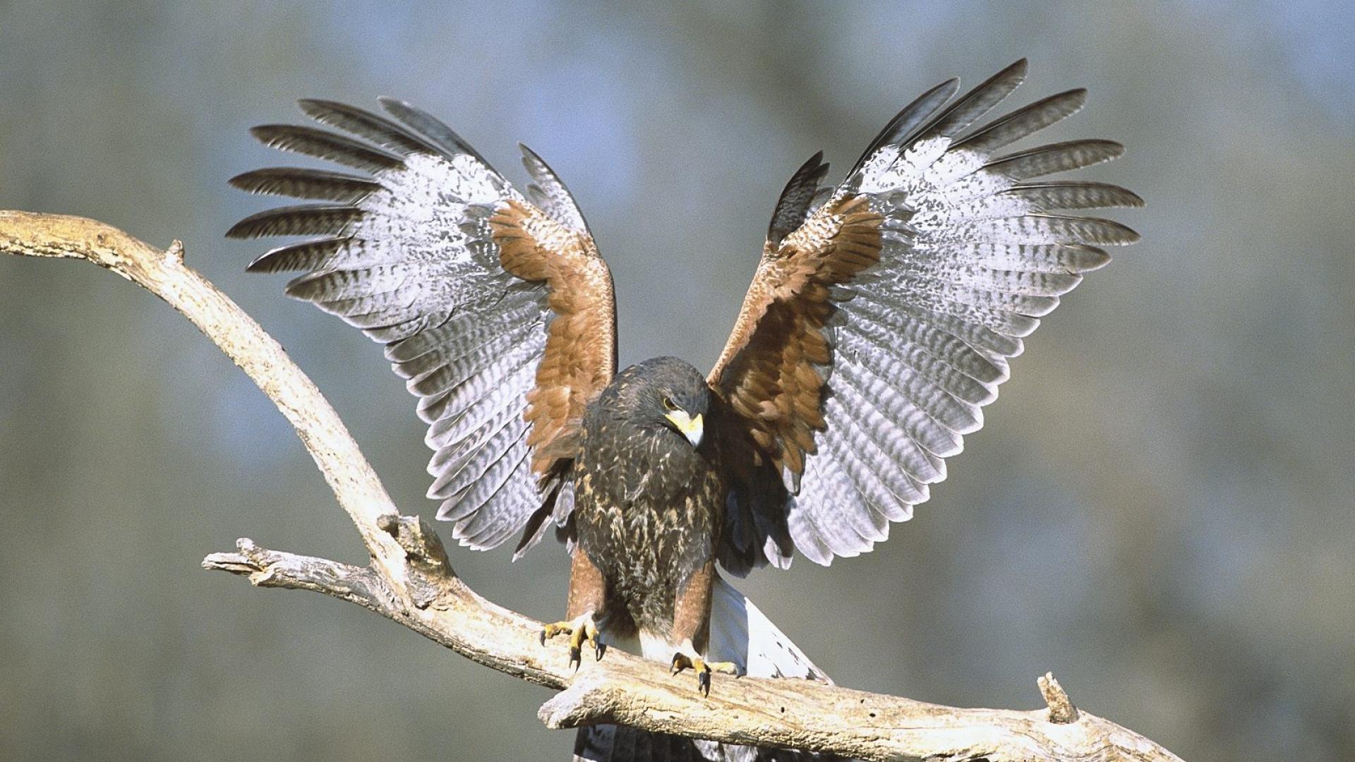 Download Wallpaper 1920x1080 Wings Bird Hawk Branch
