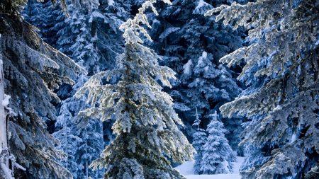 winter, fir-trees, pines