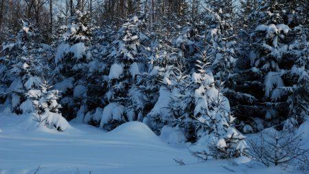 winter, fir-trees, snow