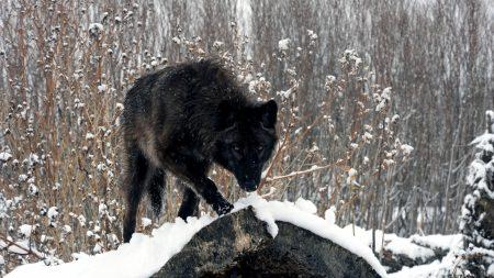 winter, look, wolf