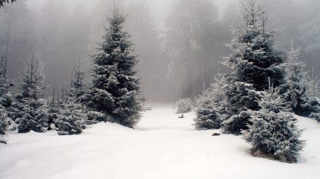 winter, wood, fir-trees