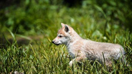 wolf, baby, grass