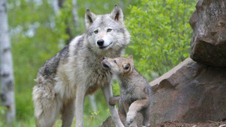 wolf, cub, couple