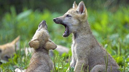 wolf cubs, cubs, wolf