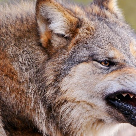 wolf, face, teeth