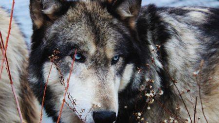 wolf, grass, muzzle