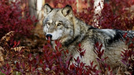 wolf, gray, leaves