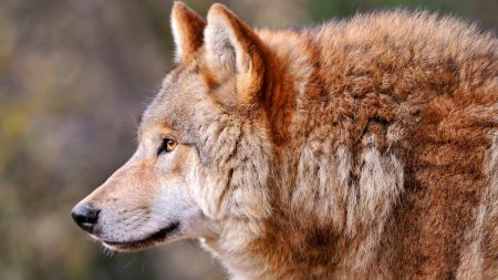 wolf, profile, animal