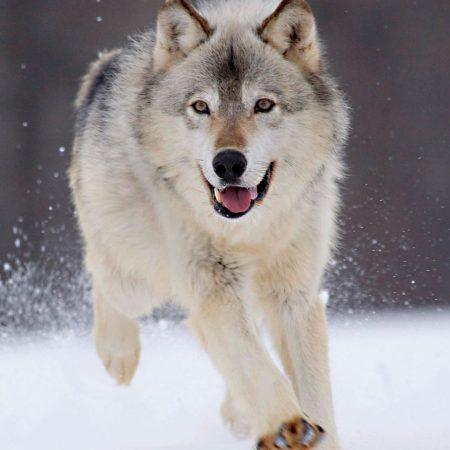wolf, run, snow