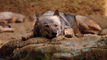 wolf, stone, lying