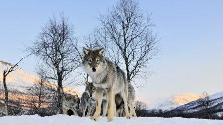 wolf, walk, flock