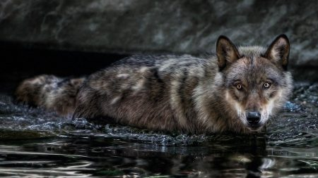 wolf, water, swim