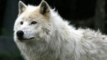 wolf, white, fur