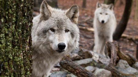 wolf, wood, peep