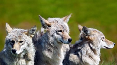 wolves, brothers, wild