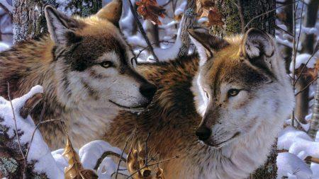 wolves, couple, predators