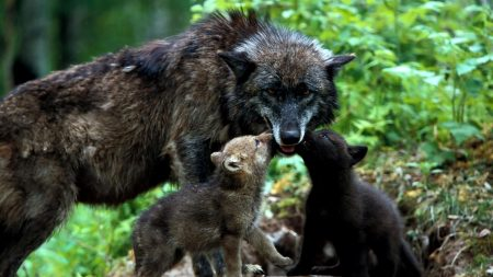 wolves, family, grass