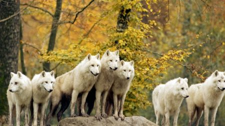 wolves, forest, flock