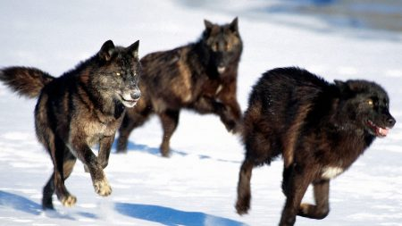 wolves, hunt, snow
