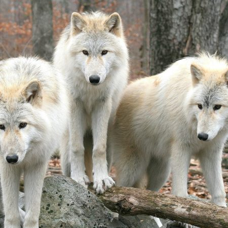 wolves, three, trees