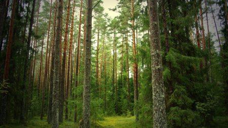 wood, pines, fir-trees