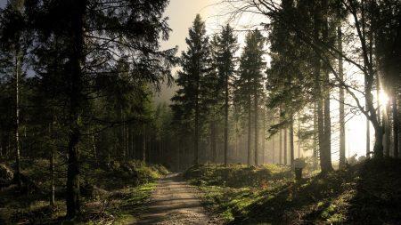 wood, road, fir-trees