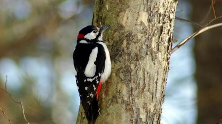 woodpecker, bird, tree