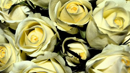 yellow roses, buds, flowers