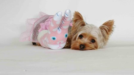 yorkshire terrier, toy, face