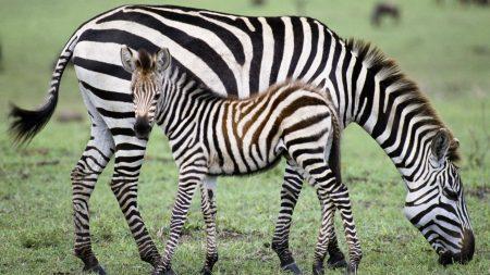 zebra, baby, grass